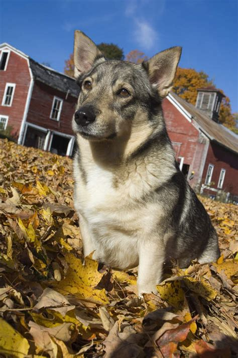 swedish vallhund dogs breed information omlet