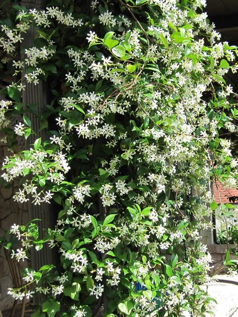 Types Of Fragrant Climbing Plants  Landscaping Ideas And