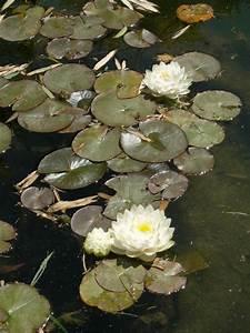 Plante Aquatique Wikipdia