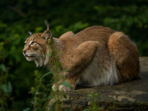 animales entranables lince iberico