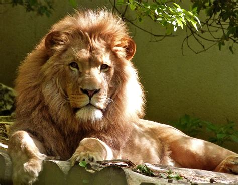 Closeup Portrait Of Lion · Free Stock Photo
