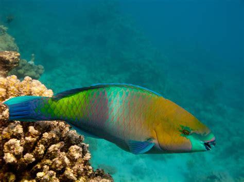 information  parrot fish