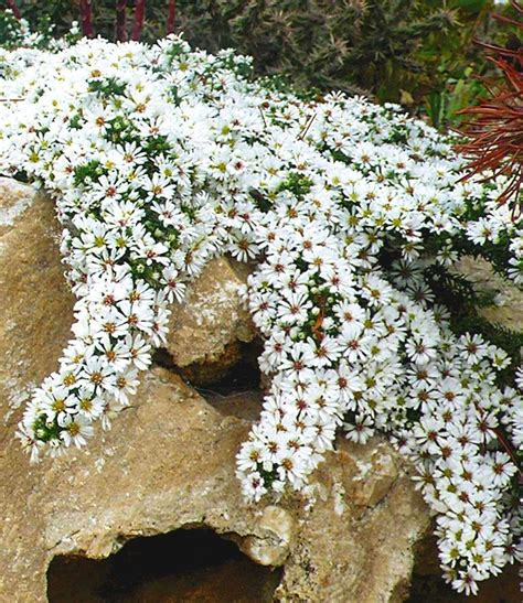 Garten Pflanzen Winterhart by Winterharter Bodendecker Steinaster Snowflurry 1