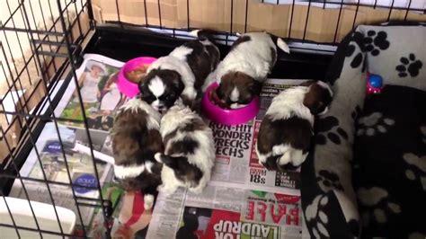 shih tzu puppy  weeks  starting weaning  solid food
