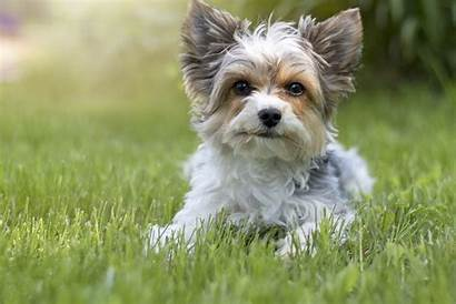 Terrier Biewer Dog Breeds Yorkshire Breed Facts