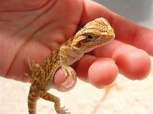 Baby Bearded Dragon Care Checklist | Raising Bearded ...