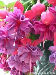 Purple Double Fuchsia Plant