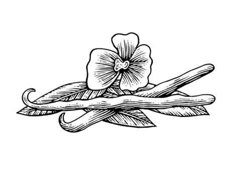 steven noble illustrations vanilla beans