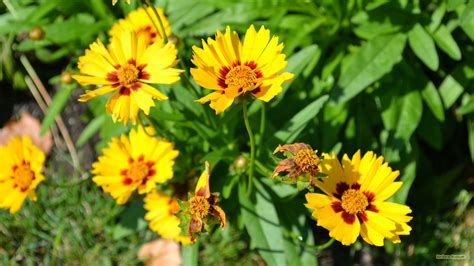 yellow flowers in summer yellow summer flowers barbaras hd wallpapers