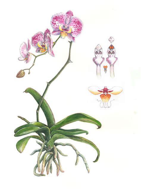 orquideas ilustracao pesquisa google desenhos lapis
