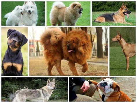 expensive dog breeds   world
