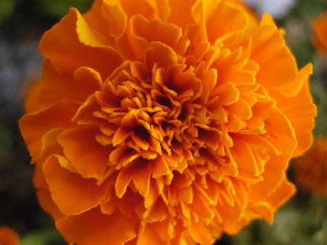 pictures of marigold flowers marigold tagetes world of flowers