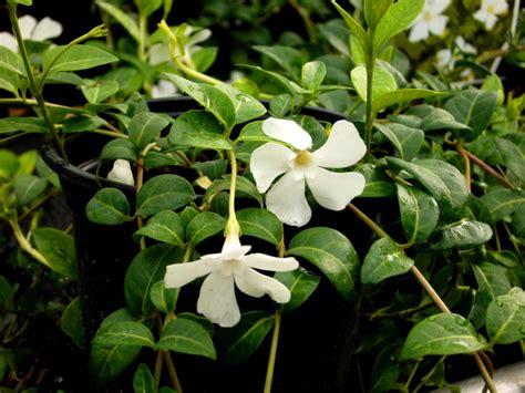 Bodendecker Pflanzen Winterhart
