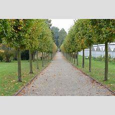 Lindenallee In Der Karlsaue…  Rosadoras Kunstgarten
