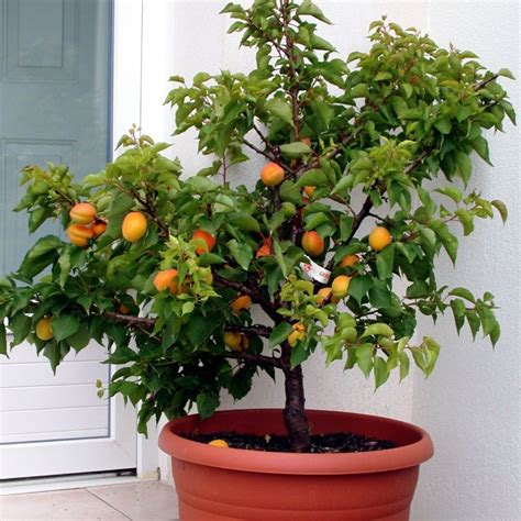 abricotier nain garden aprigold 174 en pot plantes et jardins