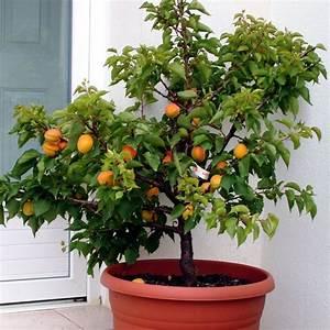 Plantes Grimpantes Pot Pour Terrasse : abricotier nain 39 garden aprigold 39 en pot plantes et jardins ~ Premium-room.com Idées de Décoration