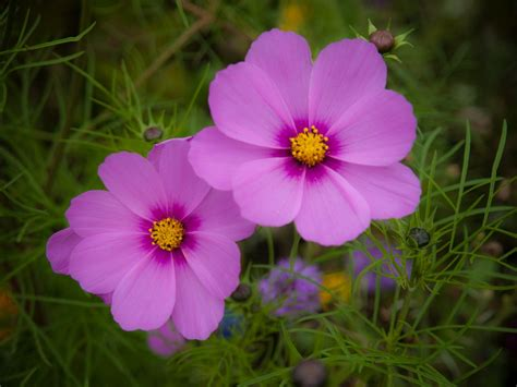 where do flowers grow cosmos plants how to grow cosmos flowers