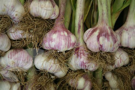 buy garlic softneck bulb garlic early purple wight