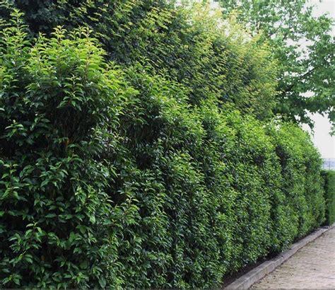 portugiesischer kirschlorbeer hecke prunus lusitanica angustifolia portugiesischer kirschlorbeer hecke