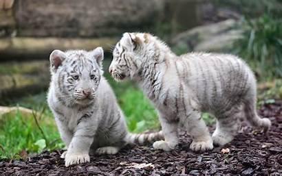 Tiger Background Animal Favorite Wallpapertag