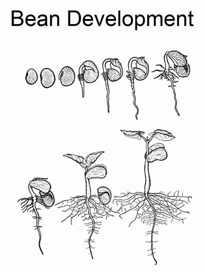 Cycle Plant Coloring Worksheet Bean Lima Pages