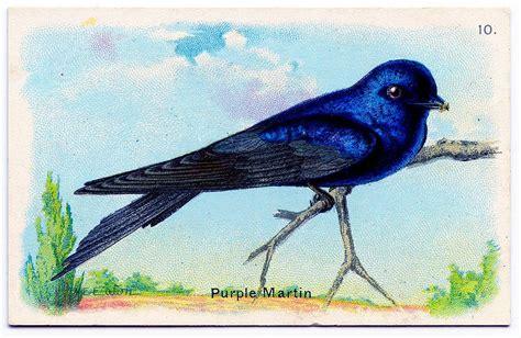 vintage graphic gorgeous bird purple martin
