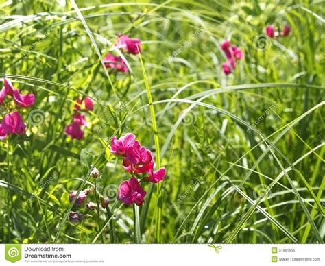 flowering grasses with pink flowers flowering tuberous pea among meadow grasses stock photo image 51661655