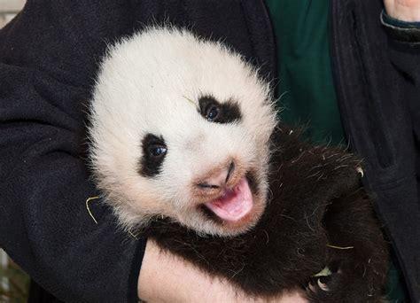 Panda Baby At Schönbrunn Zoo Vienna Zoo