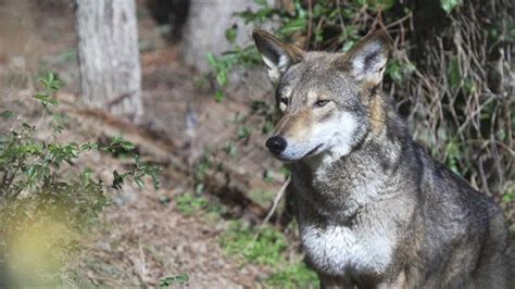 worlds  wild red wolves  fateful decision