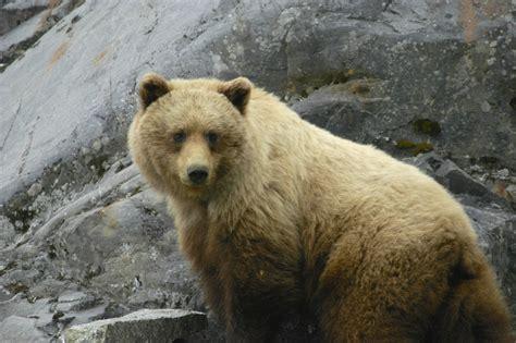 Brown Bear Alaska Photopublicdomaincom