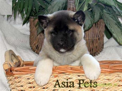 akita puppy  sale  vedodara  price