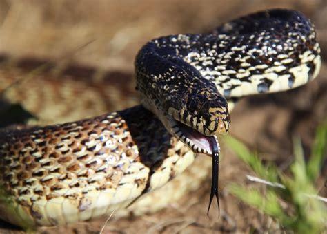 All of Nature: Bull Snake in September
