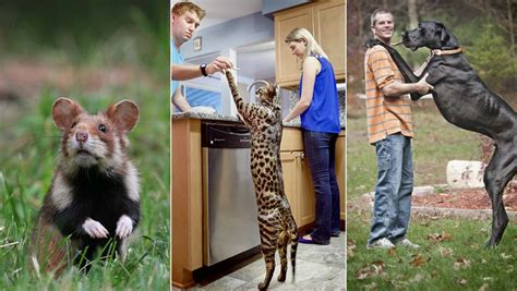 prodigious pets    worlds biggest domestic animals guinness world records