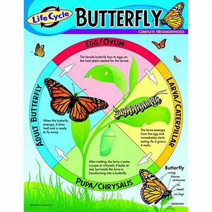 Chart Life Cycle Of A Butterfly