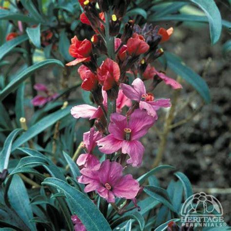 orchard erysimum julian plants plant