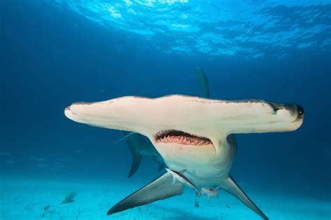 florida law protects tiger  hammerhead sharks scuba