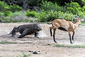 The Astonishing Moment A Wild Goat Is Hunted By Komodo Dragons