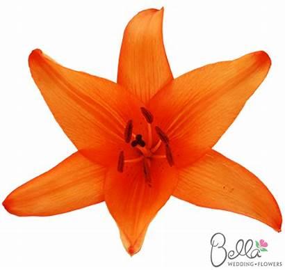Orange Lilies Flowers Asiatic Lily Oriental Flower