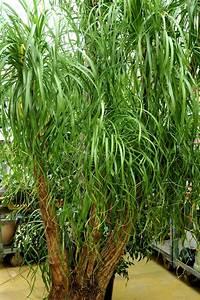 Plante D Intérieur Haute : beaucarnea cultiver et entretenir ooreka ~ Premium-room.com Idées de Décoration