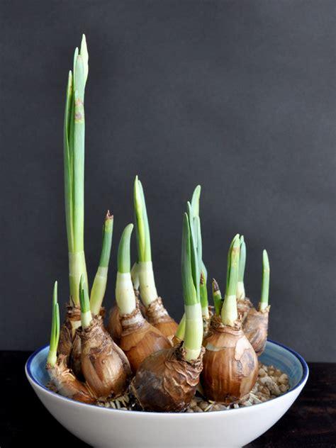 grow flowering bulbs in a bowl eco organic garden by ocp