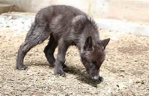 Black Wolf Pups   www.pixshark.com - Images Galleries With ...