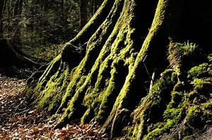 Baum Fällen Zeitraum Schleswig Holstein : gr ner mos auf einem baum im lindewitter wald aufnahme juli 2007 ~ Whattoseeinmadrid.com Haus und Dekorationen