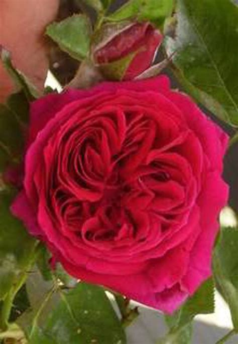 roses named  celebrities george washington rose