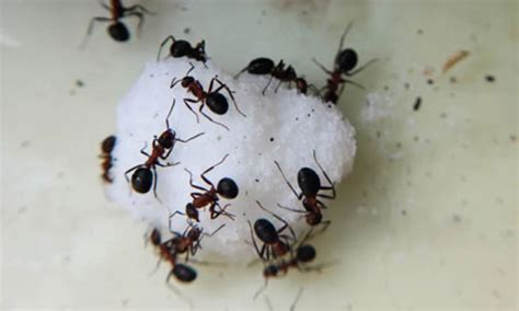 control black sugar ants   home garden