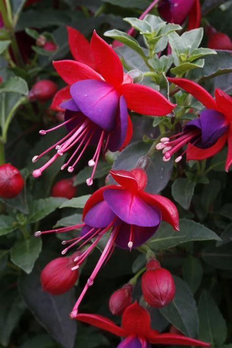 fuchsia hybrid fuchsia fuchsia x hybrid aretes jollies nantes from american farms