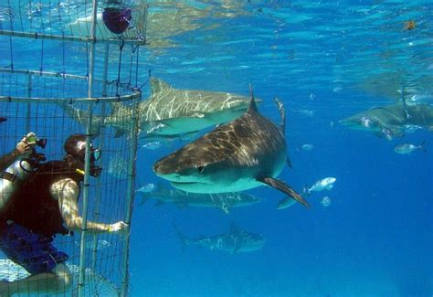 white shark cage diving  guadalupe island guadeloupe