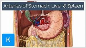 Anatomy Of Liver And Spleen