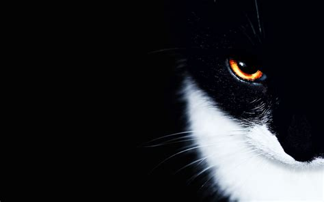 Download Cat Hd Wallpapers And Pictures For Free