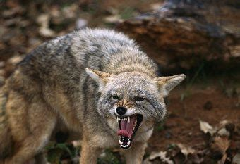 coyote population  constantly increasing news