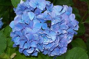 """Periwinkle Blue Hydrangea, after the rain"" by Marcia"